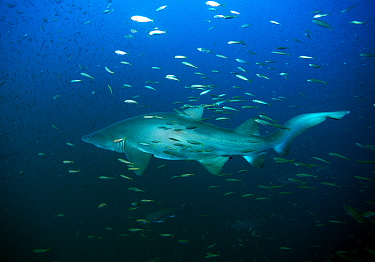 Sand tiger shark (Carcharias taurus) surrounded by Bait fish, Cape Lookout, North Carolina, USA, September  -  Michael Pitts/ npl