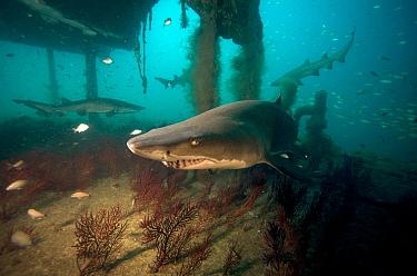 Sand tiger shark (Carcharias taurus) on the wreck of the 'Aeolus' North Carolina, USA, September 2013  -  Michael Pitts/ npl