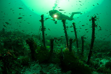 Copper keel pins from the wreck of a British First rate warship HMS Colossus wrecked in 1758, St Mary's Roads Isles of Scilly England, UK, August 2013  -  Michael Pitts/ npl