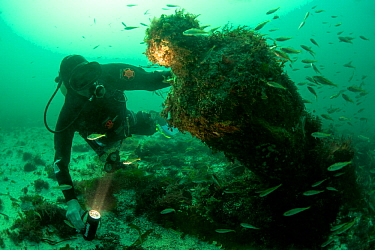 Maritime archaeologist with a 18lb cannon from the wreck of a British warship HMS Colossus, wrecked 1798 St Mary's Roads, Isles of Scilly, UK, August 2013  -  Michael Pitts/ npl