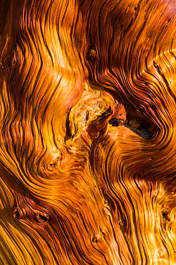 Great Basin Bristlecone Pine (Pinus longaeva) patterns in wood of ancient tree, Inyo National forest, White Mountains, California, USA, March  -  Juan Carlos Munoz/ npl