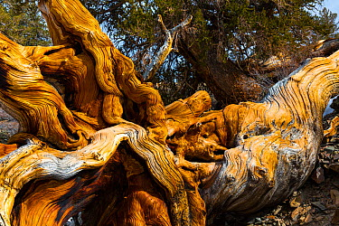 Great Basin Bristlecone Pine (Pinus longaeva) fallen ancient tree, White Mountains, California, USA, March  -  Juan Carlos Munoz/ npl