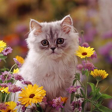 Fluffy silver Chinchilla x Persian kitten among orange Marigold and Scabious flowers  -  Jane Burton/ npl