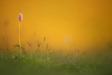 European bistort (Bistorta officinalis) flower, Vosges Mountains, France, June  -  Radomir Jakubowski/ npl