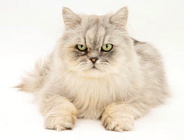 Silver tabby chinchilla Persian male cat, Cosmos, against white background  -  Mark Taylor/ npl