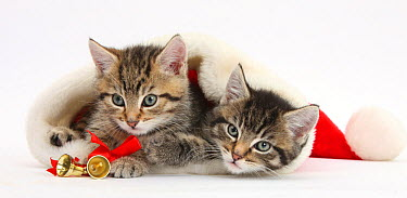 Cute tabby kittens, Stanley and Fosset, 7 weeks, in a Father Christmas hat, against white background  -  Mark Taylor/ npl