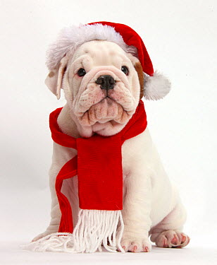 Mostly white Bulldog puppy wearing Father Christmas hat and scarf, against white background  -  Mark Taylor/ npl