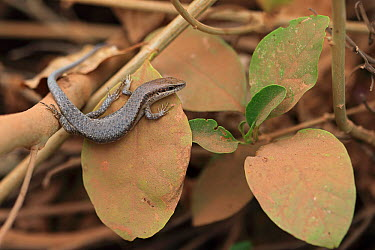 Brown-flanked Skink (Mabuya affinus) Western Division, The Gambia, January  -  Robin Chittenden/ npl
