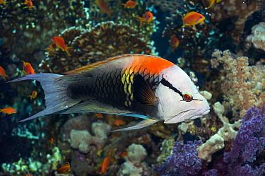Slingjaw wrasse (Epibulus insidiator) male, sexually dichromatic species, Egypt, Red Sea  -  Georgette Douwma/ npl