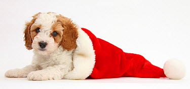Cute red-and-white Cavapoo puppy, 6 weeks, in a Father Christmas hat, against white background  -  Mark Taylor/ npl