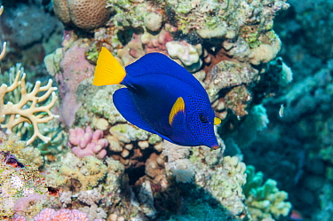 Yellowtail tang or surgeonfish (Zebrasoma xanthurum) Egypt, Red Sea  -  Georgette Douwma/ npl