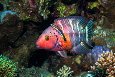 Redbreasted wrasse (Cheilinus quinquecinctus) with a Bluestreak cleaner wrasse (Labroides dimidiatus) Egypt, Red Sea  -  Georgette Douwma/ npl