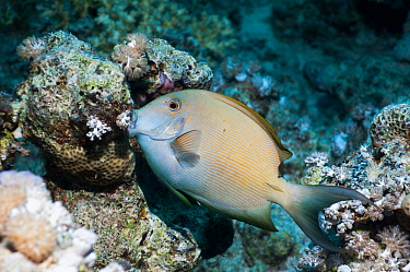 Striped bristletooth or Striated surgeonfish (Ctenochaetus striatus) Egypt, Red Sea  -  Georgette Douwma/ npl