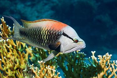 Slingjaw wrasse (Epibulus insidiator) male, sexually dichromatic species Egypt, Red Sea  -  Georgette Douwma/ npl
