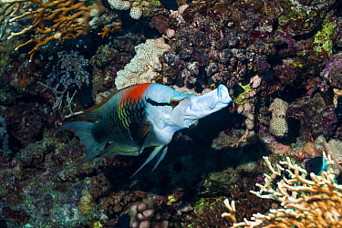 Slingjaw wrasse (Epibulus insidiator), male, with protractible jaw extended to form a tube which it uses to feed on small coral dwelling crustaceans and fishes Sexually dichromatic species Egypt, Red...  -  Georgette Douwma/ npl