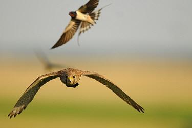 Barn swallow (Hirundo rustica) mobbing Euasian Kestrel (Falco tinnunculus) Pusztaszer, Hungary, June  -  Bence Mate/ npl
