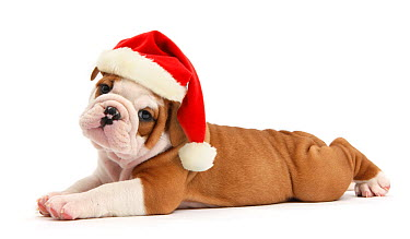 Cute bulldog pup, 5 weeks, lying stretched out and wearing a Father Christmas hat, against white background DIGITALLY ENHANCED  -  Mark Taylor/ npl
