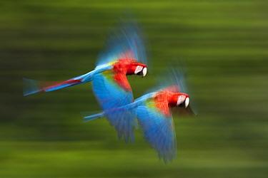 Red and green macaws (Ara chloropterus) in flight, motion blurred photograph, Buraxo das aras, Brazil  -  Bence Mate/ npl