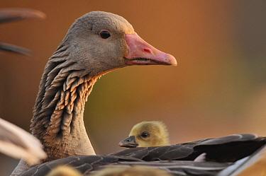 Graylag gosling (Anser anser) resting under parent's wing, Pusztaszer, Hungary  -  Bence Mate/ npl