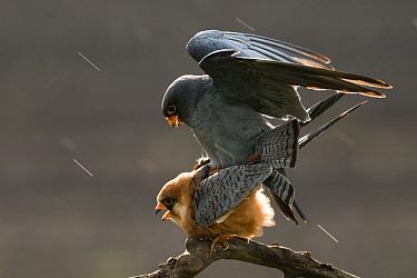 Red footed falcons (Falco vespertinus) mating in the rain, Hungary, May  -  Bence Mate/ npl