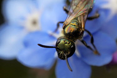 Sweat bee (Lasioglossum morio) on Forget-me-not, in urban garden, Bristol, UK, June  -  Ammonite/ npl