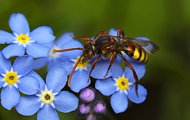 Nomad bee (Nomada flava) feeding on Forget-me-not nectar, in urban garden, Bristol, UK, June  -  Ammonite/ npl