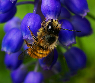 Red mason bee (Osmia bicornis) male on Grape hyacinth in urban garden, Bristol, UK, June  -  Ammonite/ npl