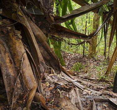Collared Nightjar (Caprimulgus enarratus) resting on leaf-litter beneath a Pandanus tree Andasibe-Mantadia National Park, eastern Madagascar  -  Nick Garbutt/ npl