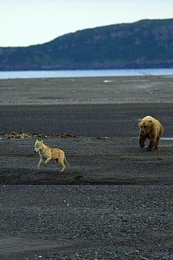 Grizzly bear (Ursus arctos horribilis) chasing grey wolf (Canis lupus) in Katmai National Park, Alaska, USA, August  -  Oliver Scholey/ npl