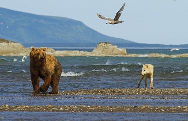 Grizzly bear (Ursus arctos horribilis) and Grey wolf (Canis lupus) on beach, Katmai National Park, Alaska, USA, August  -  Oliver Scholey/ npl