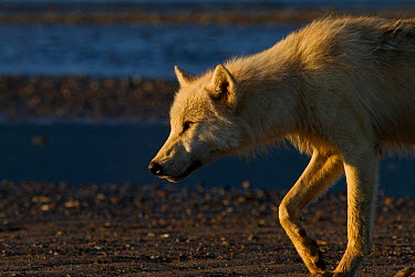 Grey wolf (Canis lupus) on beach at dawn, Katmai National Park, Alaska, USA, August  -  Oliver Scholey/ npl