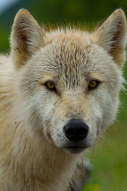 Grey wolf (Canis lupus) portrait, Katmai National Park, Alaska, USA, August  -  Oliver Scholey/ npl