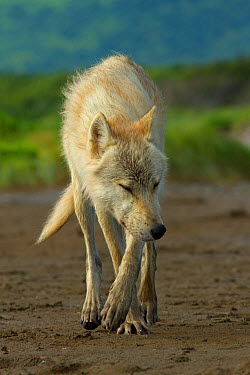 Grey wolf (Canis lupus) Katmai National Park, Alaska, USA, August  -  Oliver Scholey/ npl
