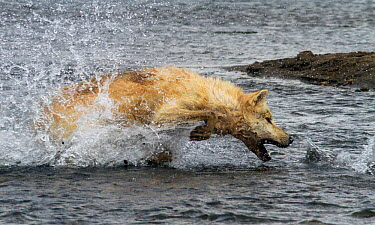 Grey wolf (Canis lupus) hunting pacific salmon Katmai National Park, Alaska, USA, August  -  Oliver Scholey/ npl