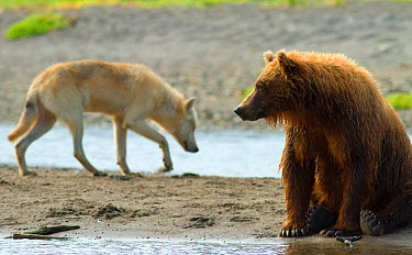 Grizzly bear (Ursus arctos horribilis) with Grey wolf (Canis lupus) behind, Katmai National Park, Alaska, USA, August  -  Oliver Scholey/ npl