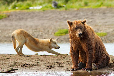 Grizzly bear (Ursus arctos horribilis) with Grey wolf (Canis lupus) stretching behind, Katmai National Park, Alaska, USA, August  -  Oliver Scholey/ npl