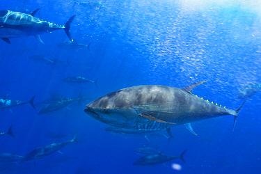 Atlantic bluefin tuna (Thunnus thynnus) shoal in open ocean, North of Santa Maria island, Azores, Portugal, September  -  Luis Quinta/ npl