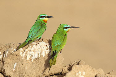 Blue cheeked Bee eater (Merops persicus) pair at breeding site, Oman, April  -  Hanne & Jens Eriksen/ npl