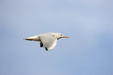 Slender-billed gull (Larus genei) in flight over Stagno di Cagliari, Sardinia, Italy, September  -  Mike Read/ npl