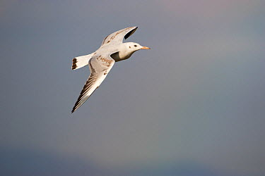 Slender-billed gull (Larus genei) juvenile in flight over Stagno di Cagliari, Sardinia, Italy, September  -  Mike Read/ npl