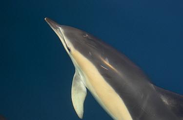 Common dolphin (Delphinus delphis) Atlantic ocean, Portugal, July  -  Luis Quinta/ npl