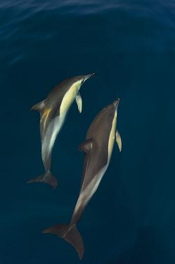 Common dolphins (Delphinus delphis) pair in courtship ritual, Atlantic ocean, Portugal, July  -  Luis Quinta/ npl