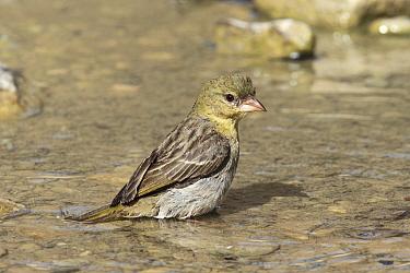 Ruppells weaver (Ploceus galbula) female, bathing, Oman, May  -  Hanne & Jens Eriksen/ npl