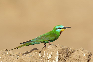 Blue cheeked Bee eater (Merops persicus) adult, Oman, April  -  Hanne & Jens Eriksen/ npl
