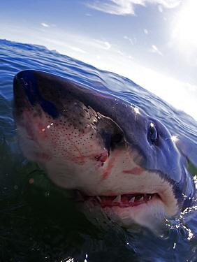 Great white shark (Carchardon carcharias) False Bay, South Africa  -  Chris and Monique Fallows