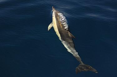 Common dolphin (Delphinus delphis) surfacing, Atlantic ocean, Portugal, September  -  Luis Quinta/ npl