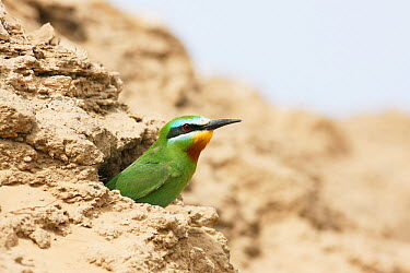 Blue cheeked Bee eater (Merops persicus) adult at nest hole, Oman, April  -  Hanne & Jens Eriksen/ npl