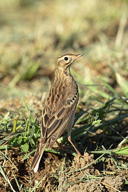 Richards pipit (Anthus novaeseelandiae richardi) in field, Oman, December  -  Hanne & Jens Eriksen/ npl