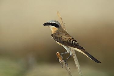 Long tailed shrike (Lanius schach) Oman, September  -  Hanne & Jens Eriksen/ npl