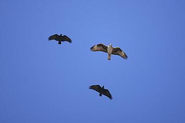 Bonellis eagle (Aquila fasciatus) in flight, being harassed by two Fan tailed raven (Corvus rhipidurus) Oman, January  -  Hanne & Jens Eriksen/ npl